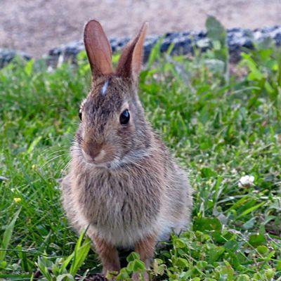 Cute little rabbit on my doorstep 😄 Animal Themes Mammal One Animal Animal Wildlife Close-up Animals In The Wild Rabbit Focus On Foreground