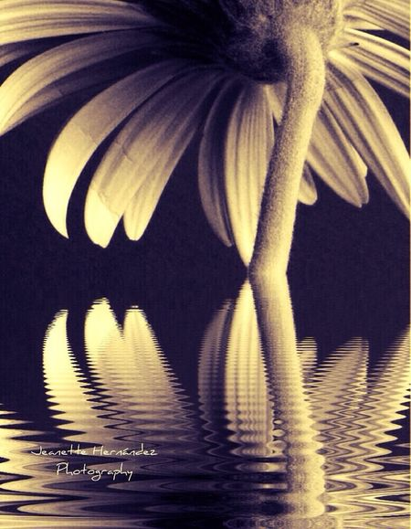 Black & White Relections Water Flower Porn
