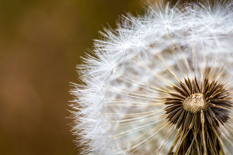 Dandelion Dreams Autumn Bright Sunny Burst Close-up Dandelion Delicate Dry Flower  Fall Flower Flower Head Focus On Foreground Fragility Nature No People Outdoors Plant Puff Season  Selective Focus Softness Spring Summer Tan White