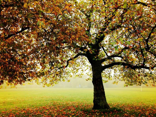 Fall Beauty Tree TreePorn Autumn Colors London Iphoneonly