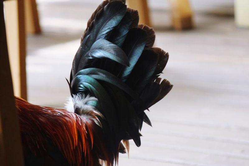 Close-up of a rooster