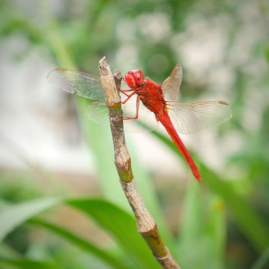 EyeEm Bandung Macro Beauty In Nature Macro Beauty Red Insect Close-up Animal Themes Green Color Dragonfly Animal Wing