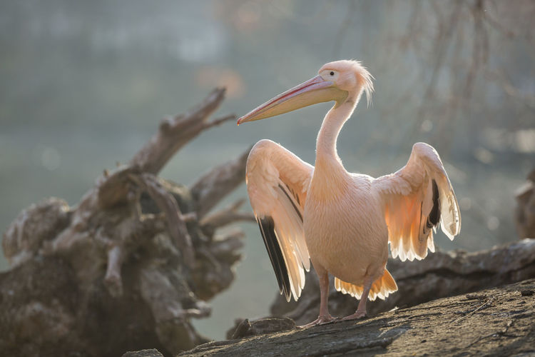 Great white pelican / Pelecanus onocrotalus [Canon EF 300mm f/2.8 L IS II USM] Animal Animal Themes Animal Wildlife Animals In The Wild Beak Beauty In Nature Bird Day Focus On Foreground Group Of Animals Nature No People Outdoors Pelican Perching Stork Tree Two Animals Vertebrate Wood - Material