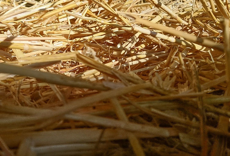 Wheat Straw 🌾 🌾 Yellow Gold Backgrounds Full Frame Close-up Grass Straw Farmland Wheat Cereal Plant