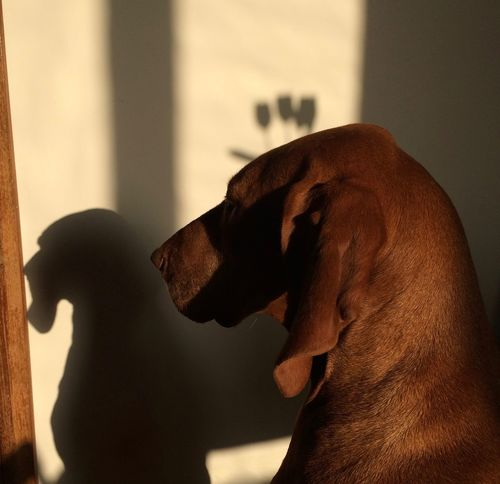 Animal Themes Colors Dog Dog Love Dogslife Domestic Animals Hungarian Vizsla Light And Shadow Magyar Vizsla Morning Morning Light Morning Sun Nana's Life One Animal Pets Play With The Light See The World Through My Eyes See What I See Vizsla Vizsla Life