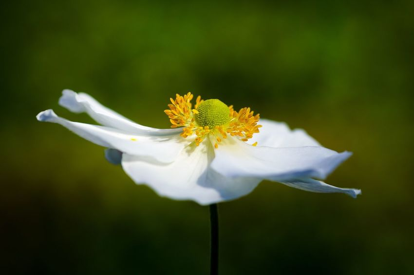 Anemone Anemone Flower Herbstanemone Flower Blüte Blütenzauber White Natur Nature Nature_collection Garden Single Flower Focus On Foreground Beauty In Nature White Color Blomster