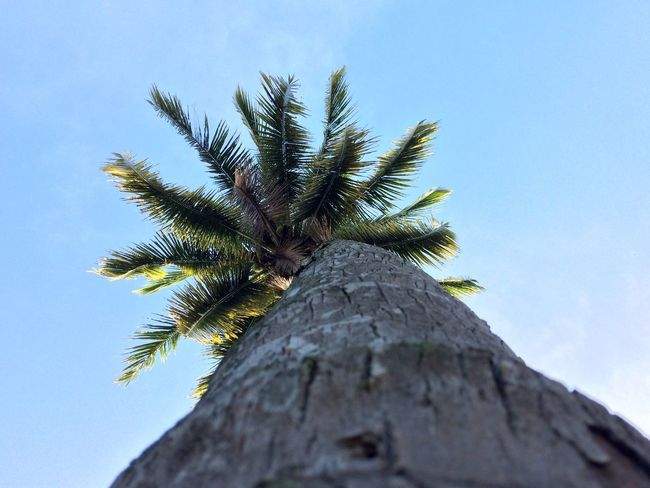 Coconut tree in my land Low Angle View Tree Coconuttree Iphone5s EyeEmNewHere Tree Trunk Day Nature No People Blue Growth Outdoors Sky Clear Sky Beauty In Nature Close-up