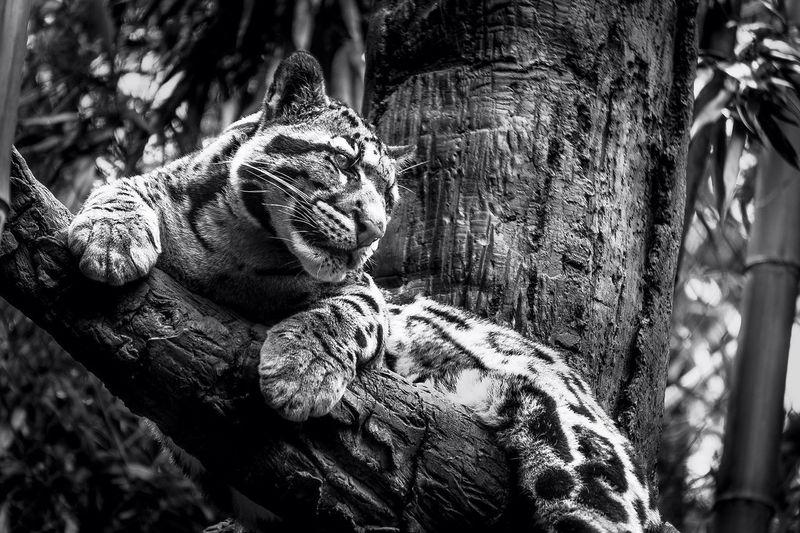 Clouded Leopard Black And White Enjoying Life Wildlife