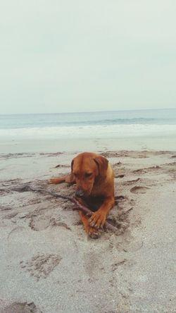 Rhodesian Ridgeback Dog Goodday Sea