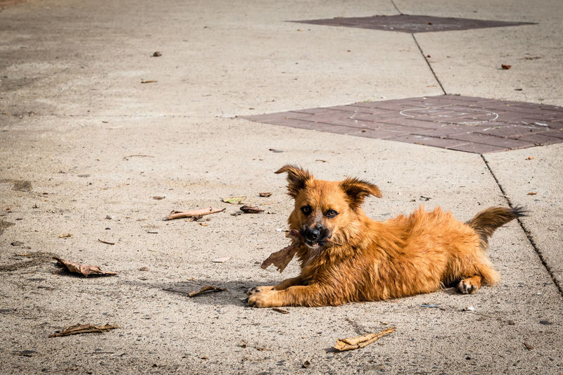 Portrait of dog relaxing on street