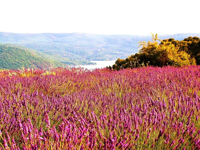 Provence, France Lavender Field Lavender Colored BYOPaper! Live For The Story The Great Outdoors - 2017 EyeEm Awards