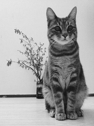 Yuma Cat Catlovers Blackandwhite Black & White Taking Photos Pets Tiger El Tigre Miauw Plant Vase Poser