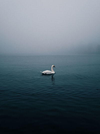 | Foggy Moods Hazey Animals In The Wild Bird Copy Space Foggy Minimal Minimalism Nature One Animal Swan Water Waterfront