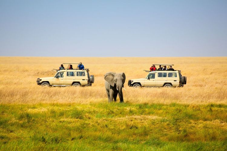 Tourists in vehicles visiting african elephant at serengeti national park