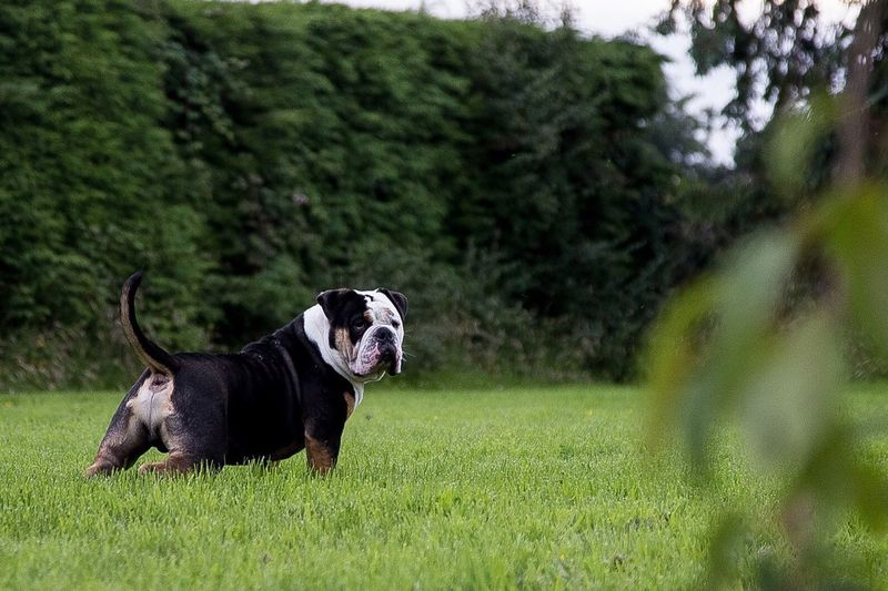 Olde English Bulldog Pup I bred only 9months old 😱😱 he's soo big Animal Themes One Animal Domestic Animals Grass Pets Dog Mammal Tree Full Length Side View Field Grassy Green Color Focus On Foreground Nature Day Animal No People Outdoors Looking Oldeenglishbulldogges Oldeenglishbulldogges😍❤ Oldeenglishbulldogge Limerick