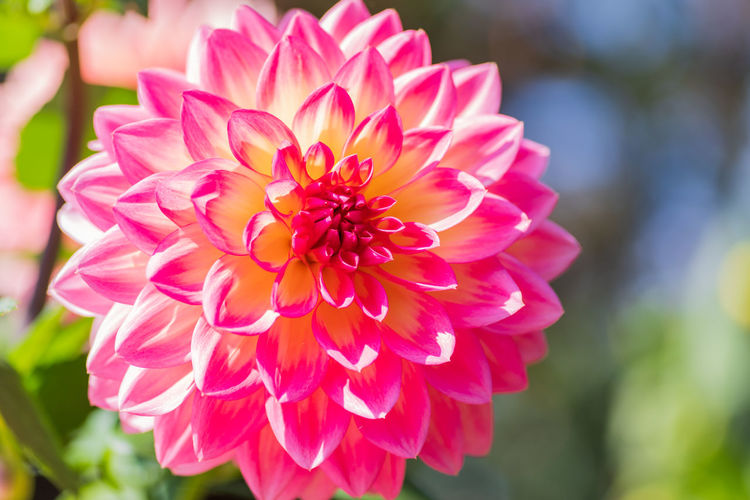 Flowering Plant Flower Petal Vulnerability  Fragility Beauty In Nature Plant Flower Head Inflorescence Freshness Close-up Focus On Foreground Growth Dahlia Pink Color Day Nature No People Park Outdoors Daria