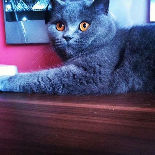 Dzidzi2 British_Cat Pusia Cat Love petSilvermojpulpecikinstagood