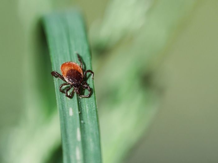 Zecke - Close up of tick Tick Zecke Holzbock Animal Themes Animal Close-up Macro Nature Perspective Blade Of Grass Grass Green Botany Natural Light Selective Focus Detail Insect Leaf Spider Macro Close-up Animal Themes Arachnid Plant Life