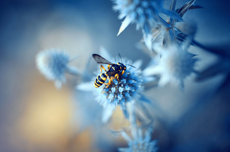 Close-up of wasp on blue flower