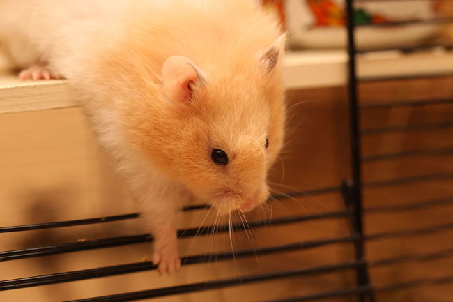 Hamster Love Hamsters Animal Animal Body Part Animal Head  Animal Themes Animal Wildlife Cage Close-up Domestic Domestic Animals Focus On Foreground Hamster Indoors  Looking At Camera Mammal No People One Animal Pets Portrait Rodent Selective Focus Vertebrate Whisker