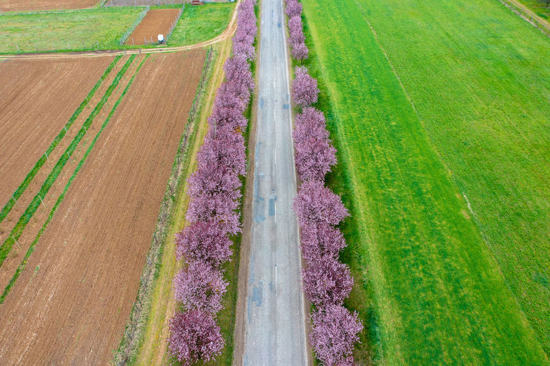 Panoramic view of purple flowering plants on land