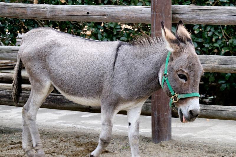 Animal Donkey Fujifilm Fujifilm X-E2 Fujifilm_series Fujifilm_xseries Mammal One Animal Side View Zoo Zoology ロバ 富士フィルム 驢馬