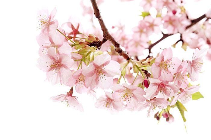 河津桜 桜 Cherry Blossoms Spring Has Come @ 聖崎公園 知多半島