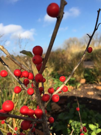 Close-up of red berries growing on tree against sky