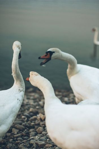 Close-up of swans on lake