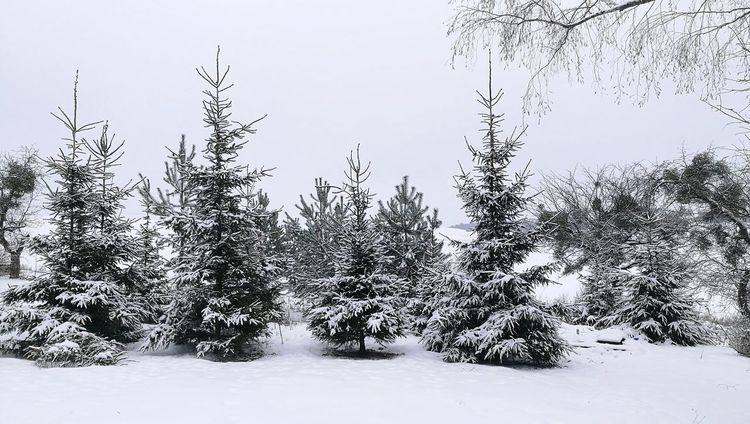 Snow Cold Temperature Winter Tree Mountain Pinaceae Sky
