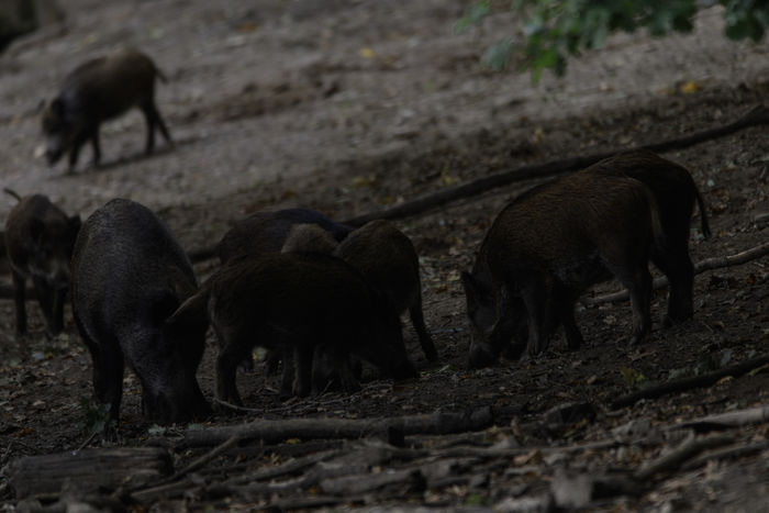 Young And Wild Animal Themes Animals In The Wild Day Field Nature No People Outdoors Wild Boar Young Animal