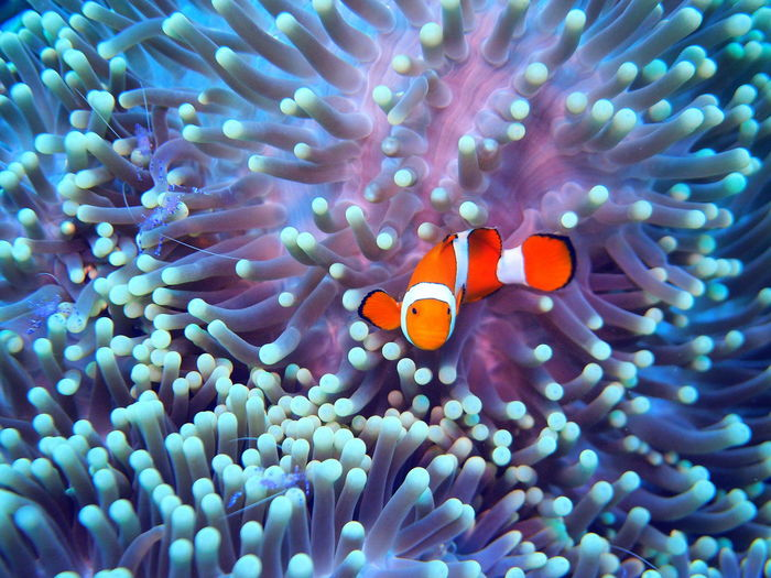 Close-up of clown fish swimming by corals in sea