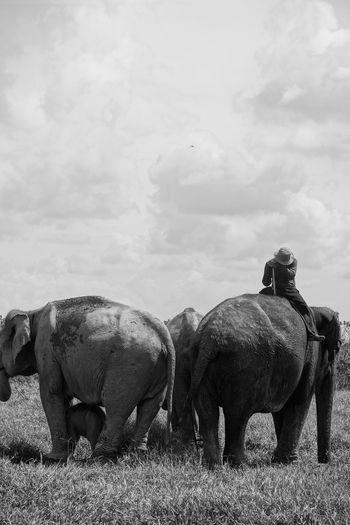 tired with elephant Animal Themes Mammal Group Of Animals Animal Animal Wildlife Animals In The Wild Cloud - Sky Nature Sky Day No People Field Grass Rhinoceros Livestock Vertebrate Safari Outdoors Plant Animal Family
