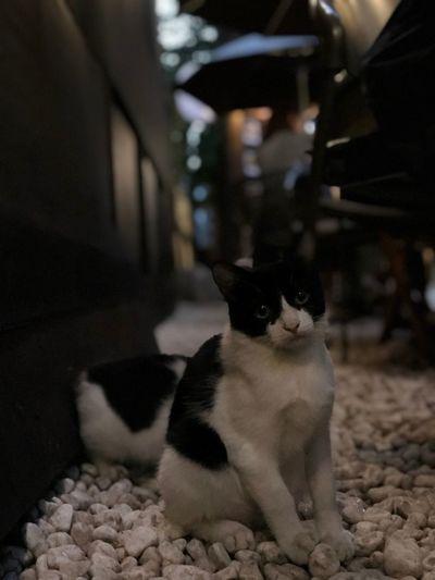 Mammal Domestic Pets One Animal Domestic Animals Vertebrate Cat