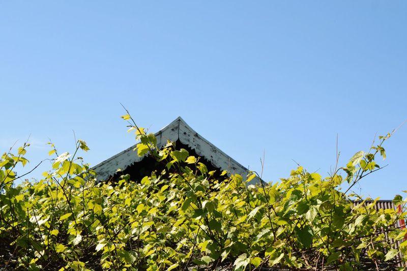 Tree Clear Sky Agriculture Flower Blue Rural Scene Leaf Sky Plant Architecture Vine - Plant Grape Greenhouse