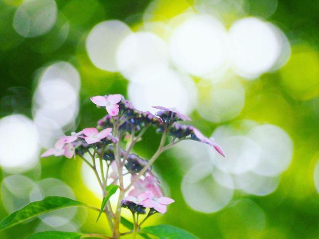 優しい夢を… 山紫陽花 あじさい Flower Collection EyeEm Nature Lover EyeEm Best Shots EyeEm Gallery Eyemphotography Taking Photos My Point Of View EyeEm Best Shots - Nature Beauty In Nature 日だまり