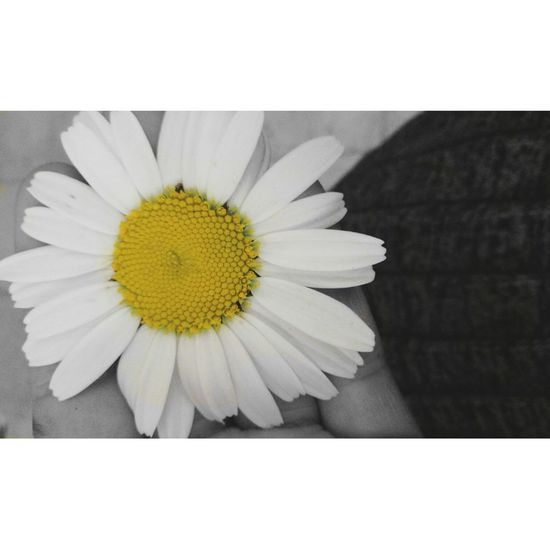 Flower Yellow Flower Head Fragility Petal Beauty In Nature Close-up Nature Pollen No People Freshness Outdoors White Background Day Turkey Kurdistan Şırnak Silopi Black & White Blackandwhite Blackandwhite Photography One Person Şırnak Silopi Nature Kurdphotograph