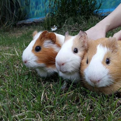 My little babies Animals Animal Pet Guineapigs Cuys Cobayos Guineapigsofinstagram Photooftheday Cute Pets Instagood Animales Cute Love Nature Animallovers Pets_of_instagram Petstagram Petsagram