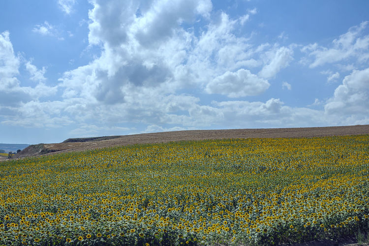 Cloud - Sky Sky Beauty In Nature Landscape Field Land Plant Tranquil Scene Tranquility Growth Flowering Plant Environment Flower Scenics - Nature Nature Yellow No People Rural Scene Day Agriculture Outdoors Flowerbed