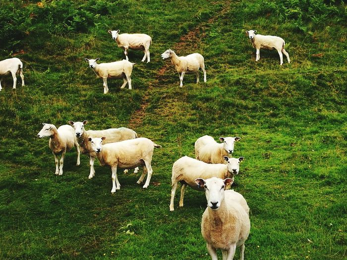 Flock of sheep on grassy hill