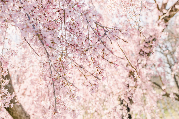 Cherry Blossom Spring Sky Lookingup Plant Flower Flowering Plant Tree Pink Color Blossom Fragility Springtime Freshness Beauty In Nature Vulnerability  Growth Branch Nature Cherry Tree Close-up No People Day Botany Outdoors Flower Head Bunch Of Flowers Blooms Blooming Tree Blooming Tree