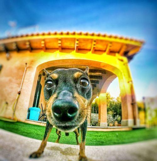 Dog Pincher Dog Miniature Pinscher Pincherlove Pincherofinstagram Dog Love Dogstagram Dogslife Dog❤