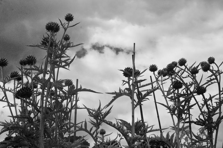 monochrome thistles Black & White Photography Close-up Clouds Cloudy Dark Clouds Dramatic Sky Flowers Garden Flowers Low Angle View Monochrome Moody Sky Atmospheric Mood Nature No People Outdoors Overcast Plant Sky Solhouette Thistles