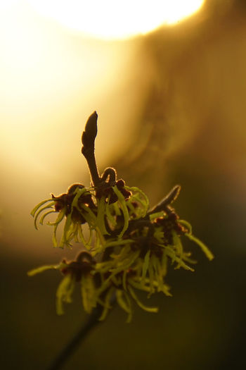 Bright Silhouette Sunlight Winter Backlighting Beauty In Nature Blossom Close-up Day Flower Flower Head Fragility Freshness Garden Garden Photography Growth Nature No People Outdoors Plant Seasons Shrub Spring Sun Witch Hazel