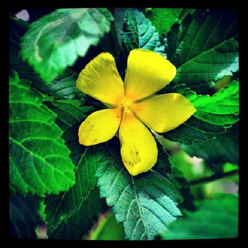 Simple yet beautiful Flower Yellow Sidewalkplant Igersmanila -igersphilippines