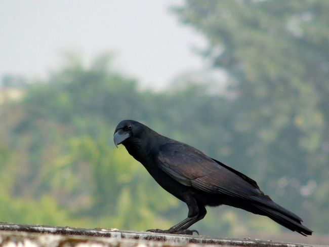 raven Birdof EyeEm Bird Photography Bird One Animal Animal Wildlife No People Animals In The Wild Raven - Bird Day Nature Full Length Animal Themes Close-up Sky Winter