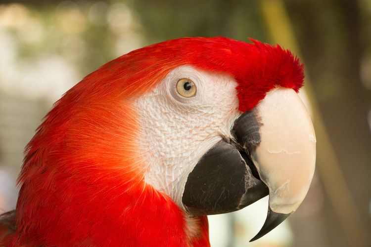 Portrait of Parrot Animal Animal Body Part Animal Eye Animal Head  Animal Themes Animal Wildlife Animals In The Wild Beak Bird Close-up Day Focus On Foreground Macaw Nature No People One Animal Outdoors Parrot Profile View Red Scarlet Macaw Vertebrate
