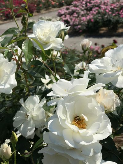 Flower Petal White Color Fragility Flower Head Nature Beauty In Nature Growth Plant Rose - Flower Freshness One Animal Blossom No People Wild Rose Animal Themes Blooming Day Insect Outdoors