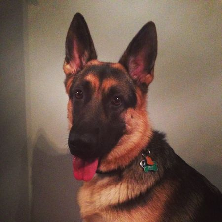 Selfie Beautiful I Love My Dog Best Friend German Shepherd Spoiled Dog