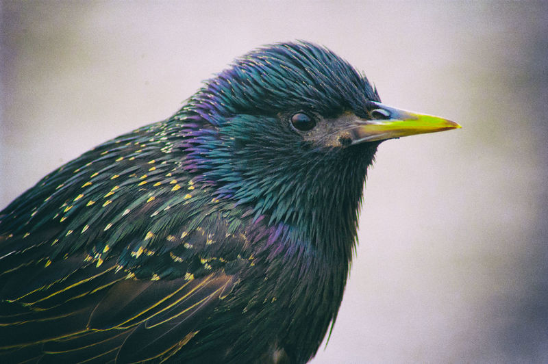 Bird Starling